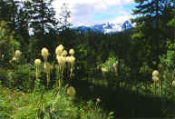 trapper bear grass.jpg (69403 bytes)